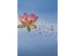 Lotus flower with water droplets